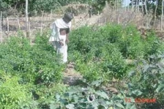 VILLAGE-CULTIVATION-AT-CBP-SITES-IN-VILLAGE-MALBHATTA
